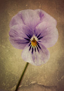 Macro Digital Art - Viola by Amy Neal