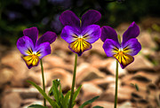 Kiss Me Prints - Viola Tricolor Print by Robert Bales