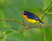 Neotropical Posters - Violaceous Euphonia Poster by Tony Beck