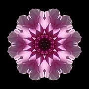 David J Bookbinder - Violet and White Dahlia...