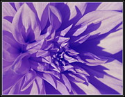 Violet Photo Originals - Violet Beauty by Dora Sofia Caputo