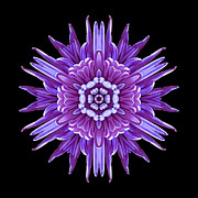 David J Bookbinder - Violet Chrysanthemum IV...