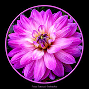 Flower Works Photos - Violet Dahlia by Rose Santuci-Sofranko