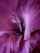 Purple Gladiolas Posters - Violet Passion Gladiolus Flower Poster by Jennie Marie Schell