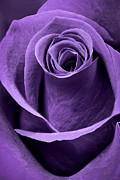 Bud Framed Prints - Violet Rose Framed Print by Adam Romanowicz