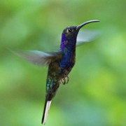 Green Color Art - Violet Sabrewing Hummingbird by Heiko Koehrer-Wagner