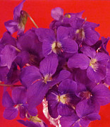 Nancy Rucker Posters - Violets on Red  Poster by Nancy Rucker