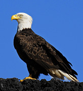 Virginia Bald Eagle Print by Lara Ellis