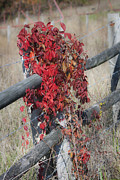 Tendrils Framed Prints - Virginia Creeper on Fence Framed Print by Teresa Mucha