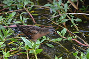 All - Virginia Rail by Kathy Gibbons