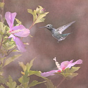 Hummingbird And Pink Flowers Framed Prints - Visitor in the Rose of Sharon Framed Print by Angie Vogel