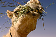 Camel Photos - Vitamins and Minerals by Thorne Owenly