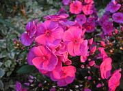 Everything Originals - Vivid Pink Phlox Flower In The Golden Hour by Elisabeth Ann