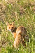 Natural Focal Point Photography - Vixen in Yellowstone...