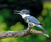 Metamora Art - Vocal Belted Kingfisher by Rodney Campbell