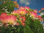 Mimosa Flowers Posters - Voluntary Mimosa Tree Poster by Joyce Dickens