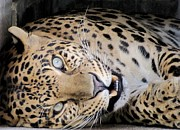 Voodoo The Leopard Print by Keith Stokes