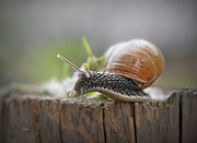 Snail Photos - Voyage Of Discovery by Evelina Kremsdorf