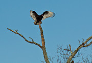 Douglas Stucky - Vulture in Cades Cove