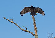 Vulture In Cades Cove II Print by Douglas Stucky