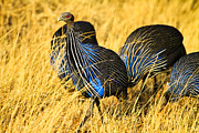 Game Pyrography Metal Prints - Vulturin Guineafowl Metal Print by Kongsak Sumano