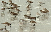 Rosanne Jordan Art - Wade in the Water Sandpipers by Rosanne Jordan