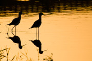 Peaceful Pond Posters - Wading Birds Poster by Nila Newsom
