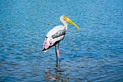 Painted Feathers Posters - Wading Stork Poster by Nila Newsom