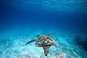 Clean Ocean Prints - Waimea Turtle 11 Print by Sean Davey