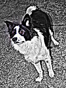 Collie Digital Art Posters - Waiting Poster by Barbara Sellers