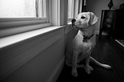 Yellow Labrador Retriever Prints - Waiting Print by Diane Diederich