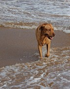 Dog At Beach Photo Prints - Waiting For Dad Print by Bonita Hensley