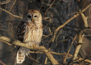 Barred Owl Posters - Waiting for Supper Poster by Lori Deiter