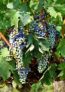 Grapes Art Prints - Waiting for Wine Print by Carol Groenen
