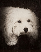 Maltese Dog Posters - Waiting Poster by Melanie Lankford Photography