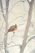 Cardinals In Snow Prints - Waiting Out The Storm Print by Kay Pickens