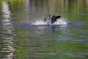 Oil Photos - Walk on Water - The Anhinga by Christine Till