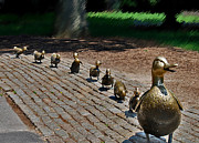 Ducklings Framed Prints - Walk this Way Framed Print by Caroline Stella