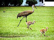 Sandhill Cranes Photos - Walking Around by Zulfiya Stromberg