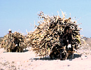 Cornstalks Prints - Walking Haystacks Print by Sue Sill