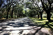 Live Oak Trees Posters - Walking Home Poster by Carol Groenen