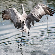 Cranes Prints - Walking on Water Print by Carol Groenen