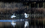 Great White Egrets Digital Art - Walking On Water by Paulette  Thomas