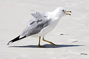Larus Delawarensis Prints - Walking Ring Billed Gull on White Sand Beach USA Print by Sally Rockefeller