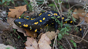 Fire Salamander Photos - Walking through the Grass - Fire Salamander by Jivko Nakev