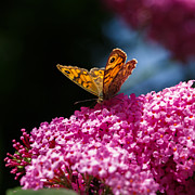 Izzy Art - Wall brown butterfly on buddleia by Izzy Standbridge