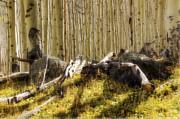 Saija  Lehtonen - Wall of Aspens