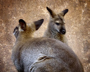 Aussie Framed Prints - Wallabies Framed Print by Ellen Lacey