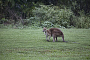 Wallaby Photos - Wallaby V10 by Douglas Barnard