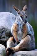 Furry Animals Posters - Wallaroo 1 Poster by Amanda Vouglas